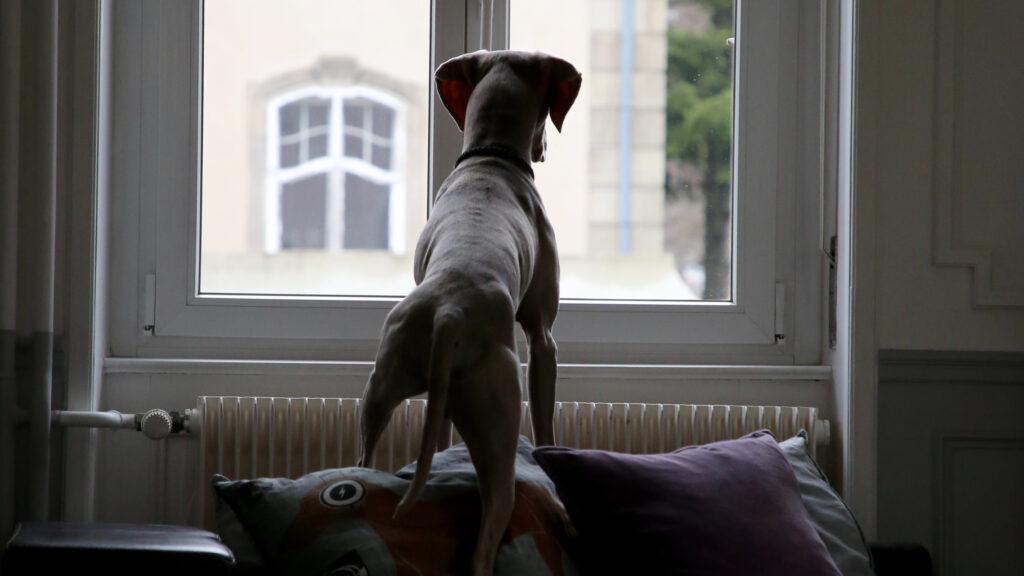 Hund guckt aus dem Fenster